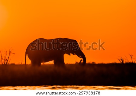 The silhouette of an elephant as it is feeding on island in the river. - stock photo