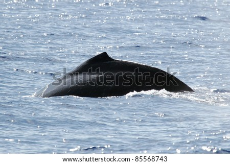 The silhouette of the back of humpback whale. Humpback whale are swimming next to coast of Hawaii island. - stock photo