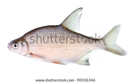 The Silver Bream (Abramis Brama) is a fresh or brackish-water fish belonging to the family Cyprinidae.