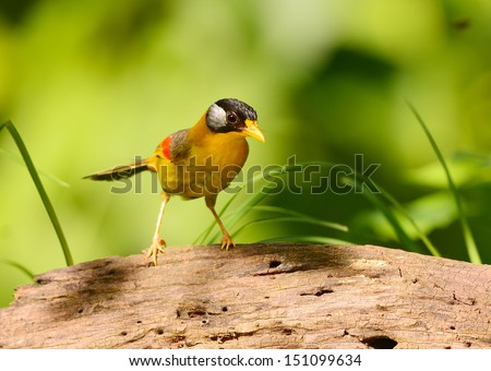 The Silver-eared Mesia (Leiothrix argentauris) is a species of bird in the Timaliidae family, that can found in Thailand