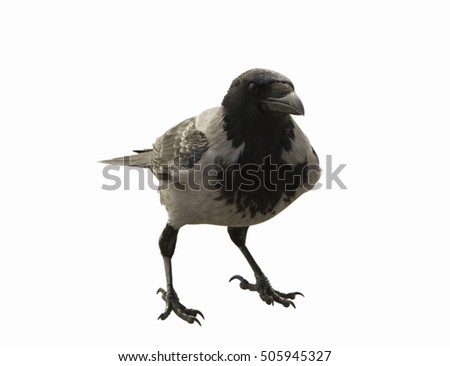 The single crow on the white background