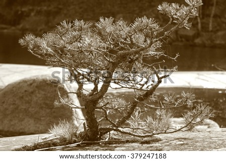 The single pine tree looking like a bonsai with curved branches covered with lichen and needles caught in web with some grass nearby growing on the stone near the lake on the blurry background. Sepia. - stock photo