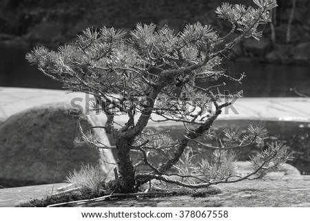 The single tiny pine tree looking like a bonsai with curved branches covered with lichen and needles caught in web with some grass nearby growing on the stone near the lake on the blurry background. - stock photo