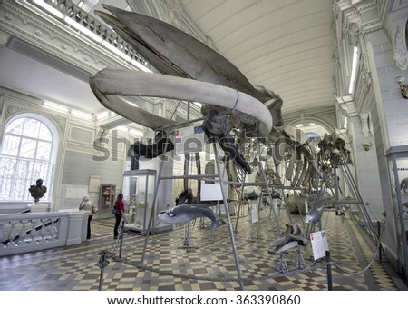 The skeleton of a whale in the central hall of the Zoological Museum of St. Petersburg, Russia, September 26, 2013 - stock photo