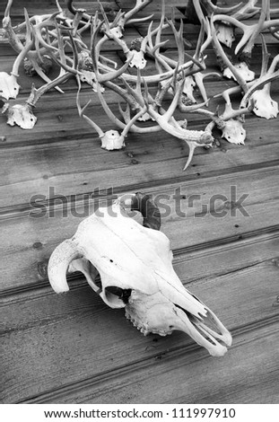 The Skull Bone of a Cow on display with some antlers wood panels - stock photo
