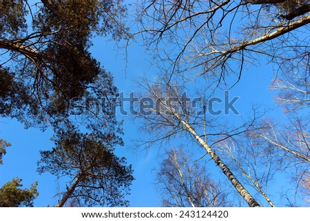 The sky in the pine forest. Winter landscape. The tops of the pines and birch trees without leaves illuminated by the sun on the background of blue sky. - stock photo
