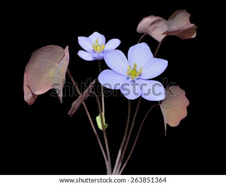 The small blue flowers (Jeffersonia dubia). Isolated on black. - stock photo