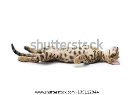 The small British kitten sleeps - stock photo