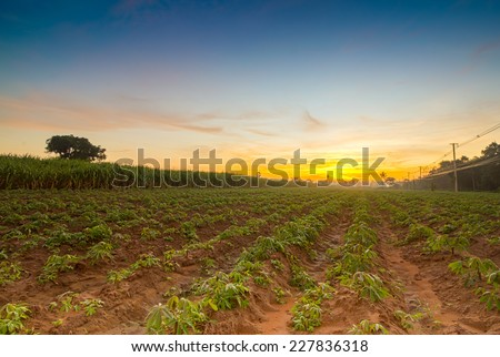 The small cassava in morning. Thailand is top Exporter of cassava in the world. The cassava can more use product for example food feed Textile industry paper industry  - stock photo