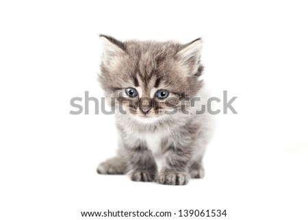 The small cat is isolated on a white background