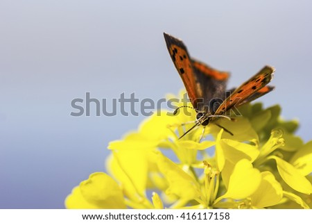 The small copper, American copper, or the common copper (Lycaena phlaeas) on a yellow flower - stock photo
