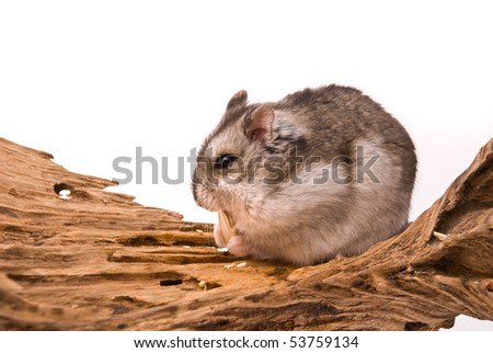 The small hamster eat a seed. - stock photo
