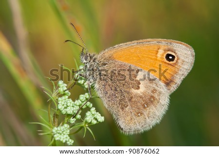 The Small Heath, Coenonympha pamphilus, photographed in nature