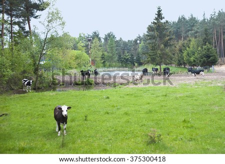 The small herd of cows is grazed on a meadow about a pond.