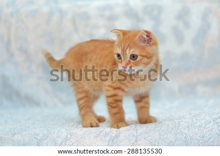 The small kitten on blue background look at side - stock photo