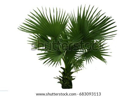 The small  Palmyra palm tree isolate