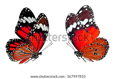 The smash red butterflies, Common tiger and Plain Tiger butterfly in fancy color profile isolated on white background, exotic flying butterfly - stock photo