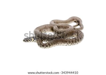 The snake lying isolated on white background - stock photo