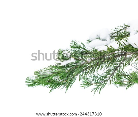 The snow-covered branch of a pine isolated on white snow - stock photo