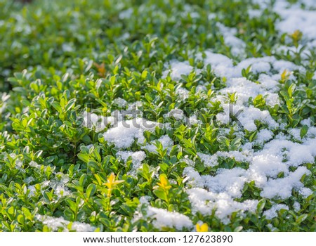 The snow is melting due to sunlight on the leaves of a bush in a park. - stock photo