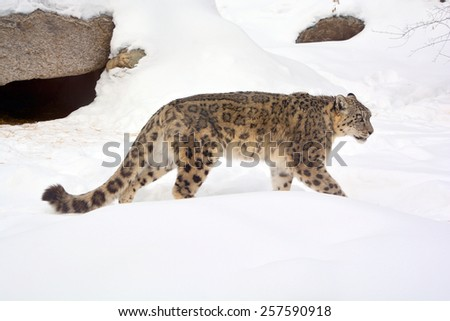 The snow leopard (Panthera uncia ) is a large cat native to the mountain ranges of Central and South Asia. soft focus - stock photo