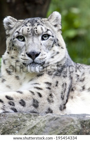 The snow leopard (Panthera uncia syn. Uncia uncia) is a large cat native to the mountain ranges of Central and South Asia.  - stock photo