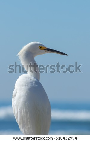 The Snowy Egret Looking at Ocean at Malibu Beach