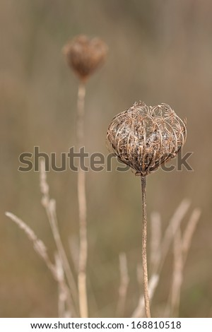 The soft glow of morning sunlight cannot diminish the menacing presence of four egg-shaped teasel flower heads. Their spiky bracts and prickly stems threaten to cause harm to anything that approaches. - stock photo