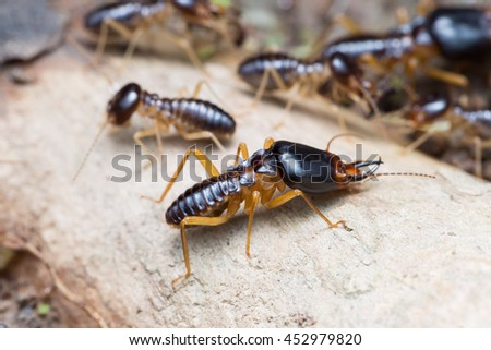 The soldier termites of soil eaters - stock photo