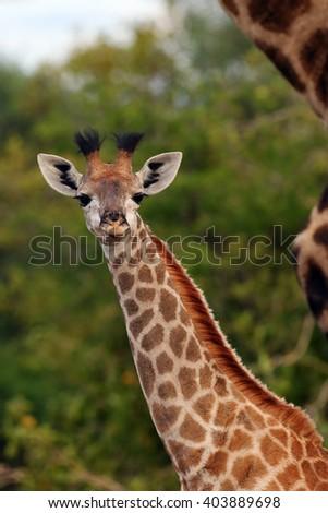 The South African giraffe or Cape giraffe (Giraffa camelopardalis giraffa), portrait of a young giraffe - stock photo