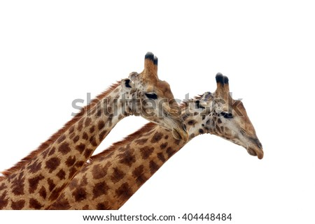 The South African giraffe or Cape giraffe (Giraffa camelopardalis giraffa) two males on white background - stock photo