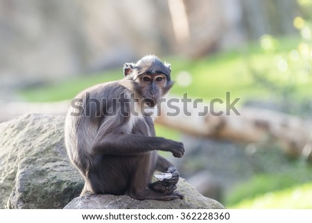 The South African monkey. - stock photo