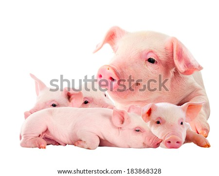 The sow with its pink piglets. isolated on white. - stock photo