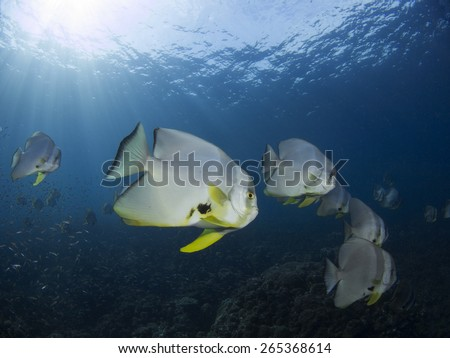 The spadefishes or batfish most well-known species which are kept as aquarium fish. They are feed primarily on algae and small invertebrates. Some spadefishes are popular sport fishing catches.