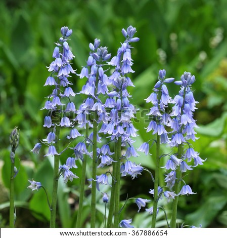 The Spanish bluebell is  cultivated as a garden plant. Hyacinthoides hispanica. - stock photo
