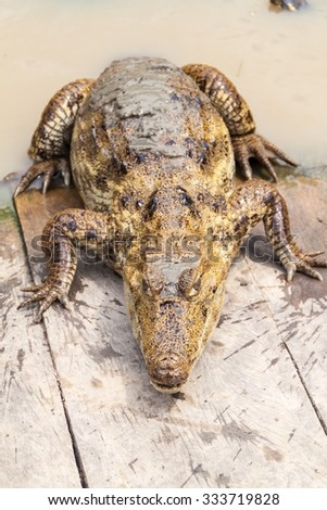 The spectacled caiman (Caiman crocodilus) in Fundo Pedrito animal farm in village Barrio Florido near Iquitos, Peru