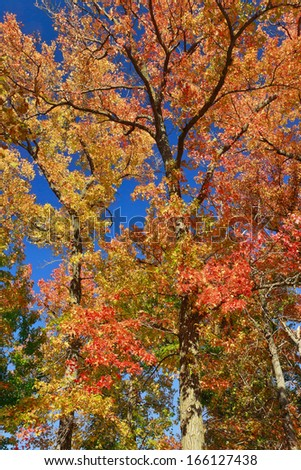 The spectacular multicolored autumn foliage of a sweet-gum tree in Forest Park. - stock photo
