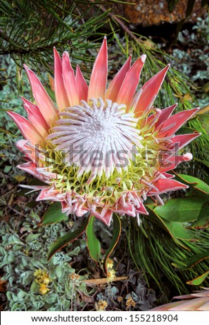 The spectacular pink King Protea with bracts and flowers fully open.  Ants are enjoying the nectar.  Grows 0.3m to 2m with huge flowerheads with pink/red flowers.