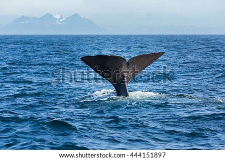 The sperm whale tail in the ocean, Norway