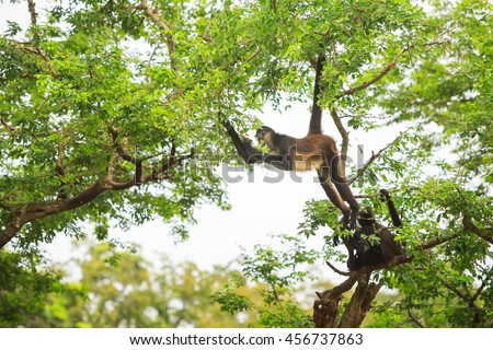 The spider monkey hanging from a tree branch using his tail and trying to reach some leafs. Look at his eyes.