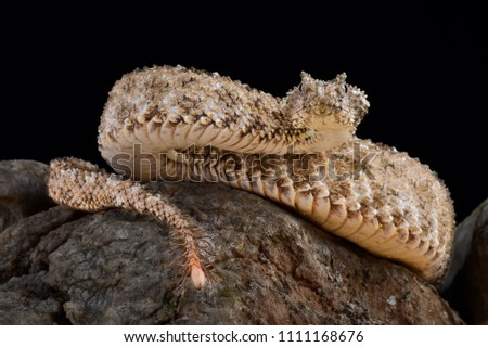 The spider-tailed horned viper (Pseudocerastes urarachnoides) has a unique tail that has a bulb-like end and that is used to catch birds. It lives in Iran.