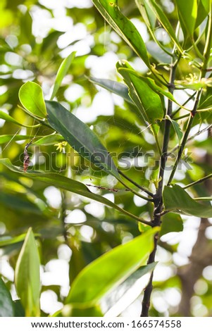The spider web on The leaves in the mangrove forest , Ranong, Thailand. - stock photo