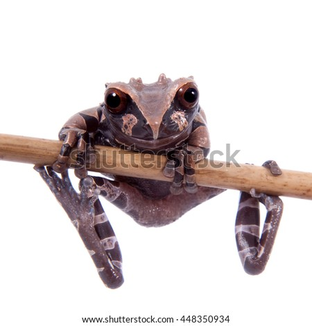 The spiny-headed tree frog, Anotheca spinosa, isolated on white - stock photo