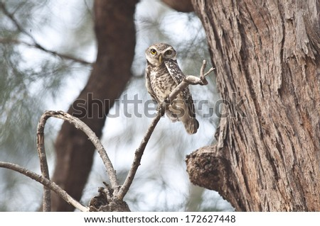 The Spotted Owlet. - stock photo