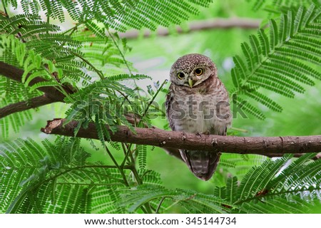 The spotted owlet (Athene brama) is a small owl which breeds in tropical Asia from India to Southeast Asia. - stock photo