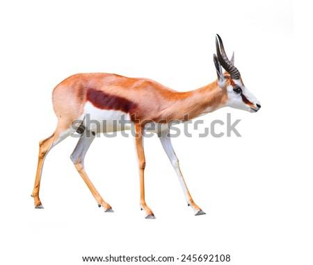 The Springbok Antelope (Antidorcas marsupialis). - stock photo