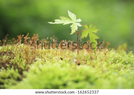 The sprout of moss and a maple