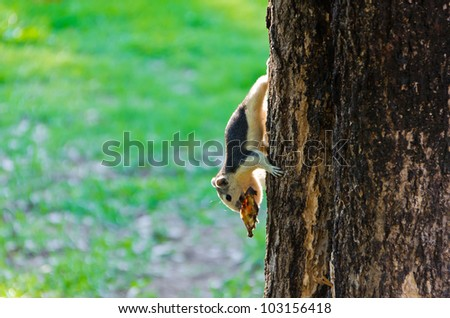 The squirrel is eating a dry fruit while grabbing to a tree trunk - stock photo