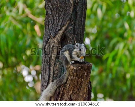 The squirrel is eating a dry fruit while standing on a tree trun - stock photo