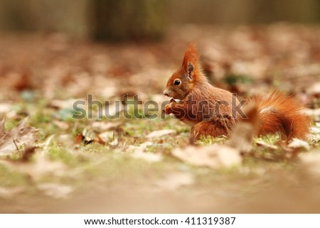The squirrel was photographed in the Czech Republic. Squirrel is a medium-sized rodent. Inhabiting a wide territory ranging from Western Europe to Eastern Asia.